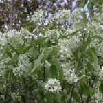 Native Plant of the Month: Western Serviceberry