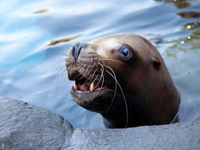 Cover Story: Remembering Gus, world's oldest male Steller sea lion