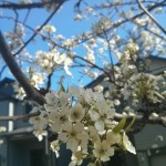 With Spring Comes Flowering Trees: It is springtime in the Pacific Northwest.