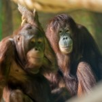 New Orangutan Kitra Debuts: Zoo News is Good News